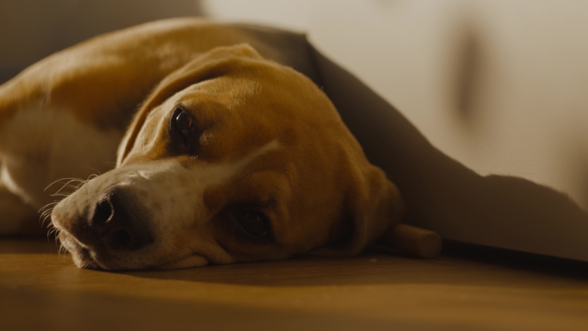 Close-up of the muzzle: a Cute Beagle dog with sad eyes is lying on the floor at home, blinking and getting ready for bed. The puppy is resting, lying in the rays of the sunset.  | Shutterstock HD Video #1054697042