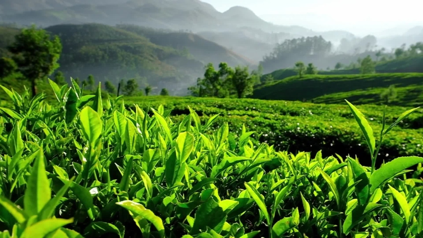 Young green tea leaves on the tea bush close up. Fresh tea leaves on tea plantations in Munnar, Kerala state, India. Slow panning steadicam shot  Royalty-Free Stock Footage #1054698758