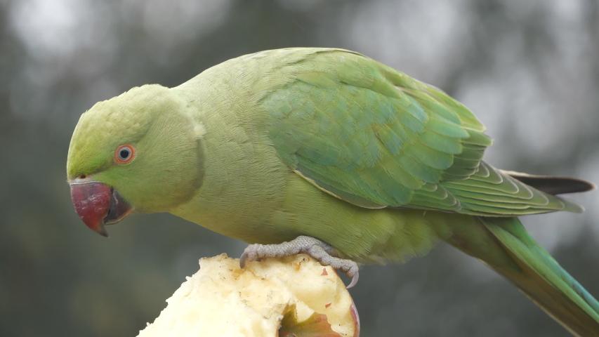 A close-up view of a parakeet eating an apple.   Shutterstock HD Video #1054699775
