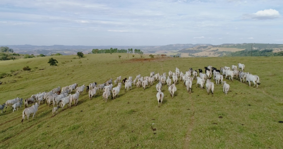 Aerial view of herd nelore cattel on green pasture in Brazil. 4K.
