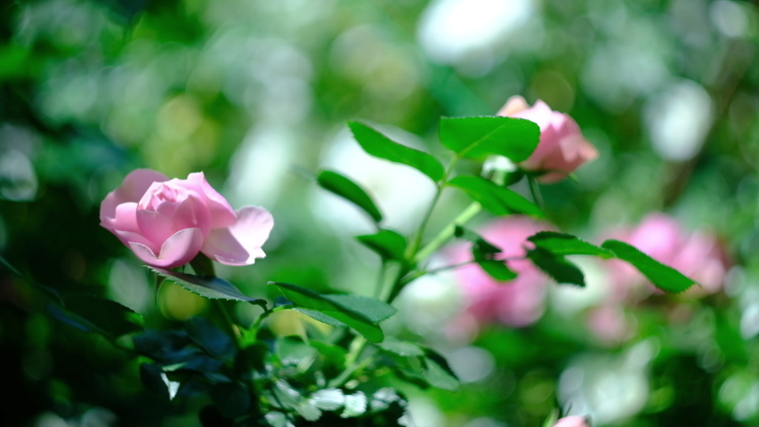Buds of pink curly roses on a hot summer day in the garden. | Shutterstock HD Video #1054701614