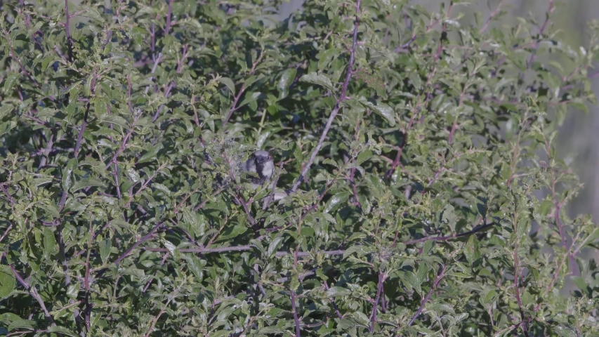 Male Sparrow Eating from Backthorn   Shutterstock HD Video #1054701905