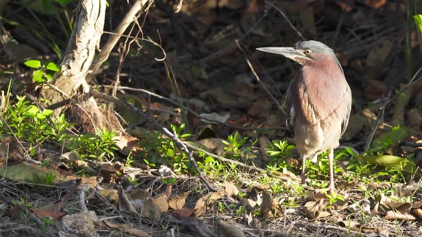 Green heron walking along forest edge   Shutterstock HD Video #1054701914