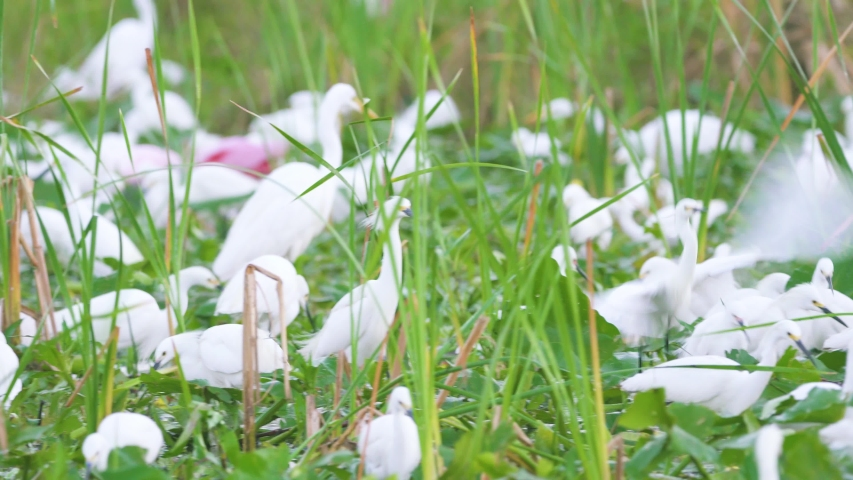 White birds congested during dry season in south florida everglades   Shutterstock HD Video #1054702886