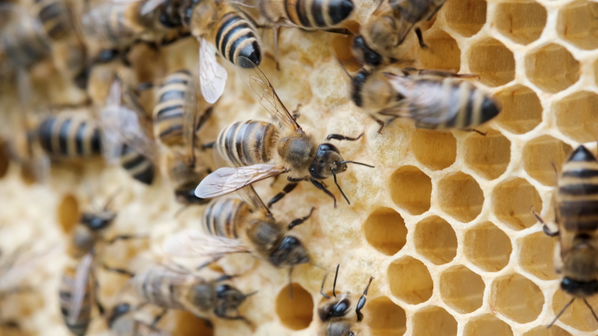 Honey Bee Brood. Brood care. The Birth of a Bee. Worker bee emerging from cell. The Honey Bee Life Cycle. Royalty-Free Stock Footage #1054705877