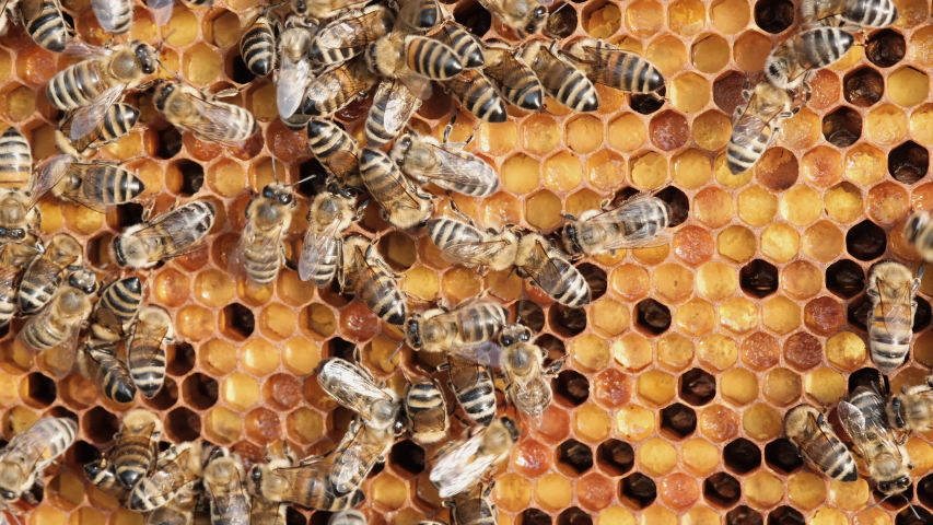 Honeycomb with colorful perga. Honeycomb with bee bread. Bees pack honeycomb with bee bread. Medicinal properties of bee bread. Apitherapy. Royalty-Free Stock Footage #1054705892