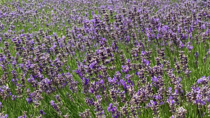 Many honeybee in lavender field. Summer German landscape with blue lavender flowers | Shutterstock HD Video #1054709252