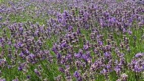 Many honeybee in lavender field. Summer German landscape with blue lavender flowers