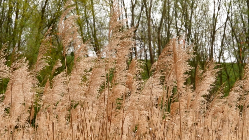 Fluffy spikelets of dry grass in a large field Against the background of green trees and hill. Blades of grass sway due to the wind on a sunny, autumn day. | Shutterstock HD Video #1054710032
