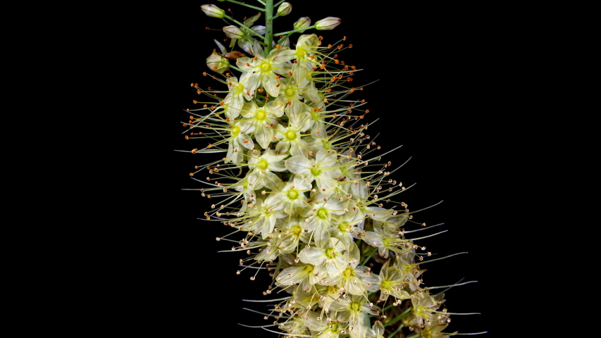 Yellow Flower Eremurus Blooming in Time Lapse on a Black Background. Foxtail Lily or Eremurus Stenophyllus   Shutterstock HD Video #1054710269