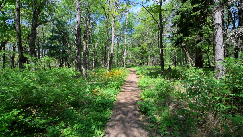 Story of the Forest trail nature in Shenandoah Blue Ridge appalachian mountains in Virginia with road path in woods wide angle handheld pov walking by wildflowers and fern plants
