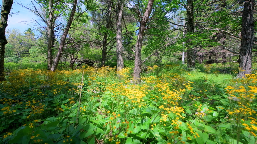 Story of the Forest trail in Shenandoah Blue Ridge appalachian mountains nature with golden aster yellow flowers handheld side view