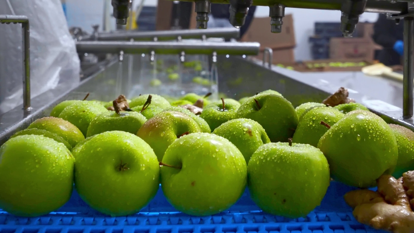 Green apples on conveyor belt, automation to squeeze organic juice. cold pressed juice bottling factory. factory worker loading apples in production line. Fruit packaging warehouse & food processing