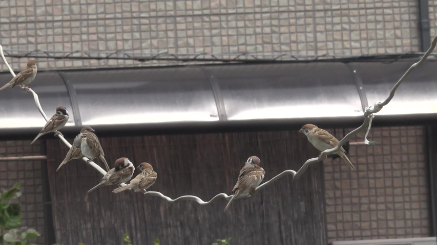 The Japanese sparrow is cute.   Shutterstock HD Video #1054716986