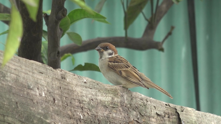 The Japanese sparrow is cute.   Shutterstock HD Video #1054716995