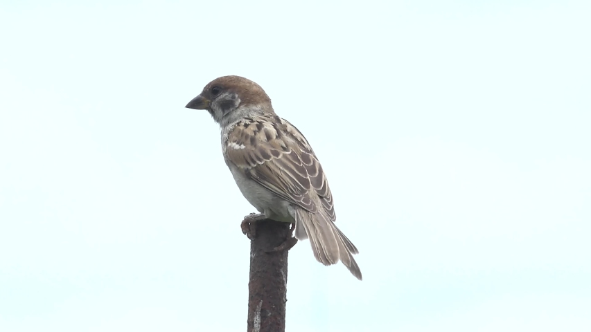 The Japanese sparrow is cute.   Shutterstock HD Video #1054716998