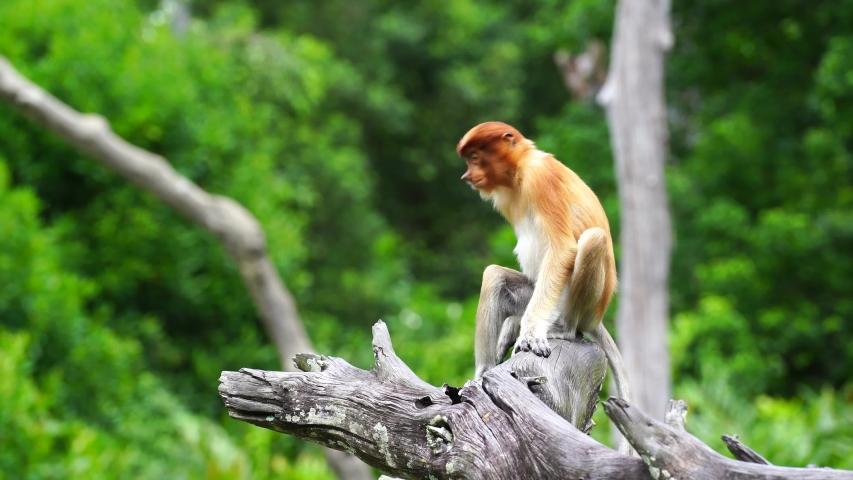Wild Proboscis monkey or Nasalis larvatus, in the rainforest of island Borneo, Malaysia, close up | Shutterstock HD Video #1054717463