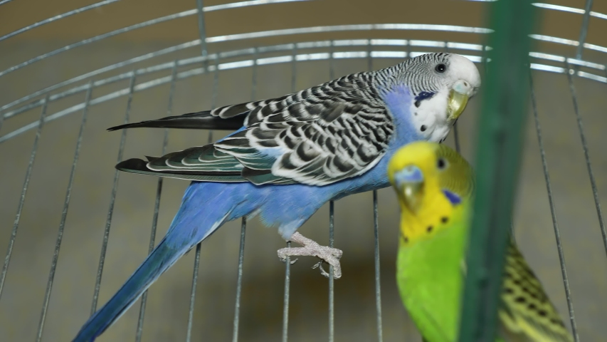 Two multi-colored parrots. Blue and green parrot sit together. Parrots boy and girl live together.