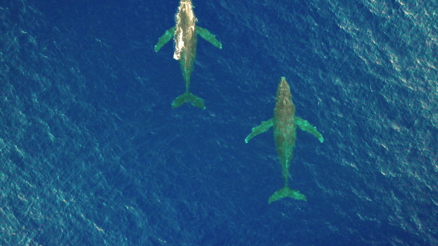 Scenic View Of Humpback Whales Swimming At The Pacific Ocean In Oahu, Hawaii - top drone shot
