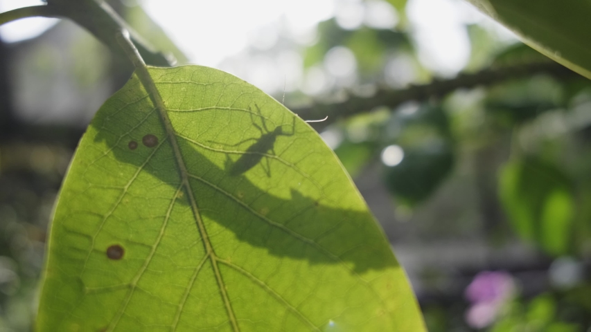 Little red insect (Antilochus conqueberti) walking behind a leaf, then over the top and flying away backlit | Shutterstock HD Video #1054719503
