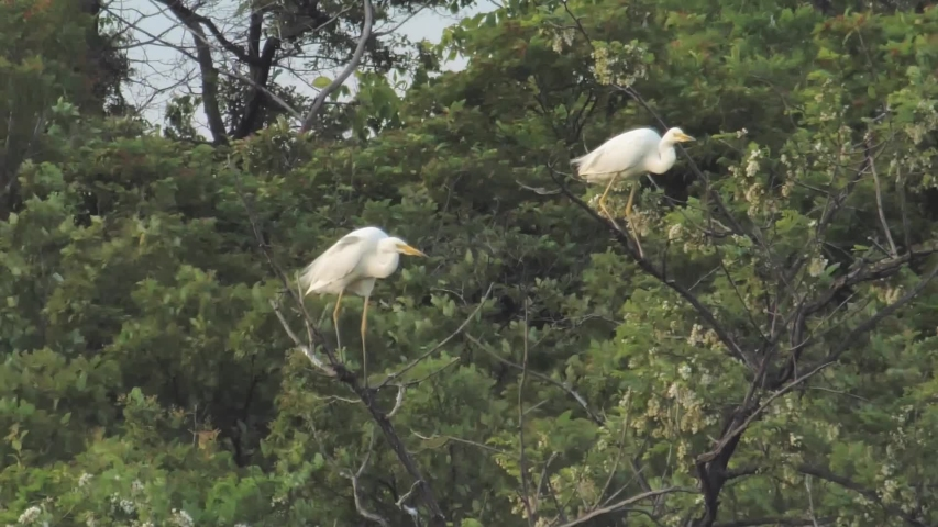 White herons trying to stay on tree during storm   Shutterstock HD Video #1054721897
