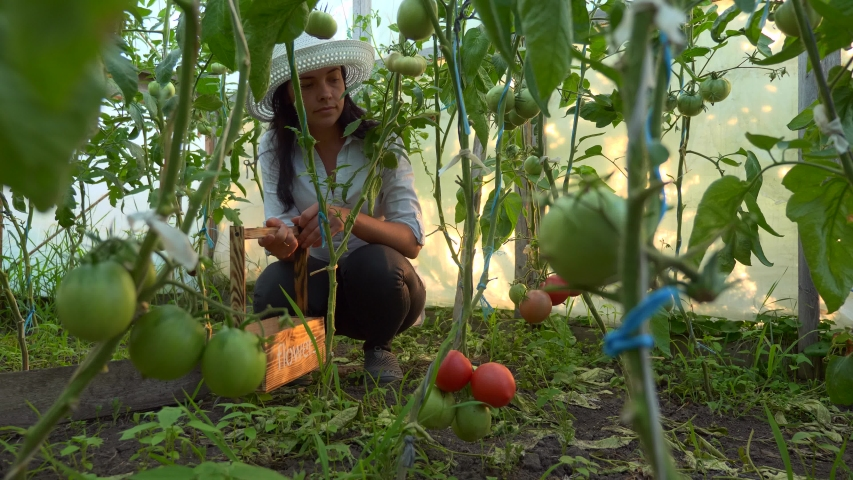 Woman Gathering Tomatoes in Greenhouse | Shutterstock HD Video #1054725617