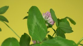 Closeup view of fresh purple cute clover flowers and green fresh foliage. Plants in vase spinning around slowly isolated on orange background. Studio shot.