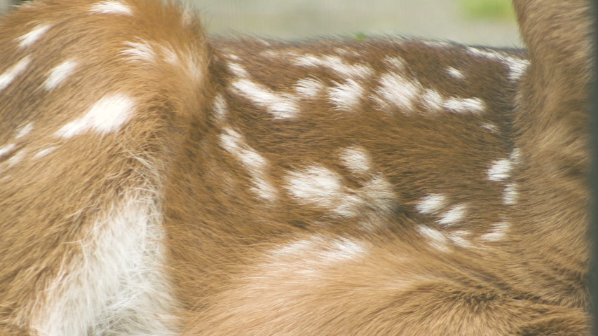 Spotted Whitetail Fawn Chest Breathing Close Up