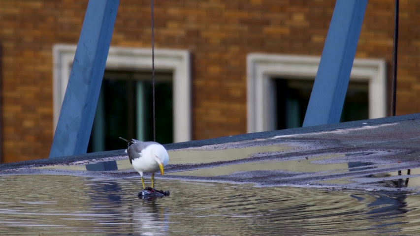 Seagull eating dead bird on flooded rooftop of building in the city during coronavirus pandemic   Shutterstock HD Video #1054725980