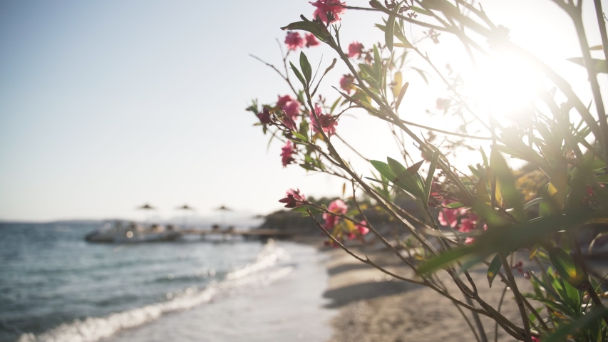 Blooming oleander tree with pink flowers on the seashore at sunset, with sunlight. High quality 4k footage