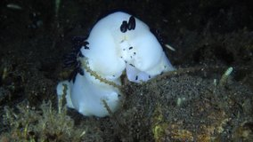 Nudibranch (sea slug) - Jorunna funebris feeding on seaweed in the night. 4K underwater video. Night dive in Tulamben, Bali, Indonesia.