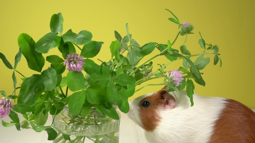 Closeup view 4k video of cute white and brown home guinea pig pet eating fresh green grass with great appetite. Domestic animal eats clover leaves and purple flowers. Studio shot. | Shutterstock HD Video #1054727300