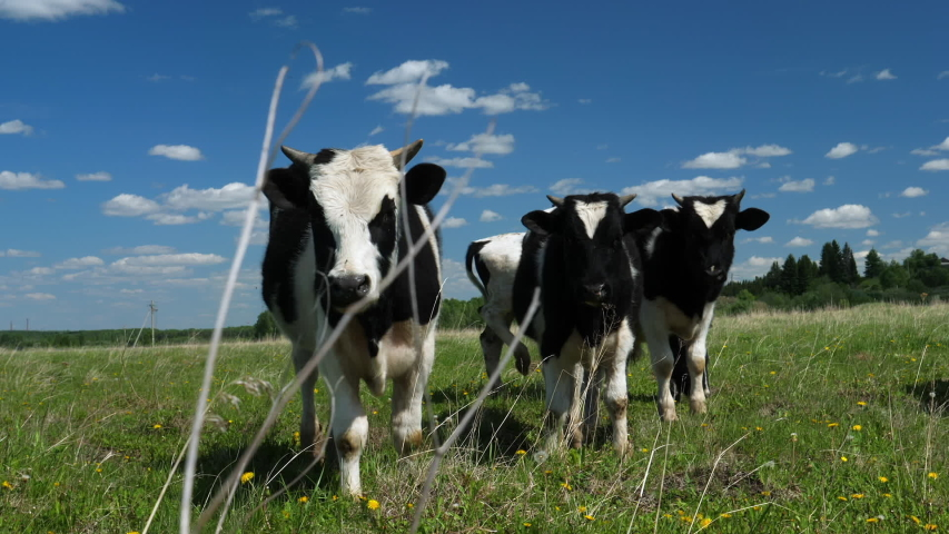 Funny cows in the countryside walking in the meadow, summer day, farm