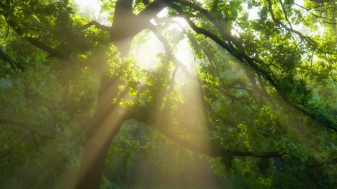 Beautiful summer morning in the forest. Sun rays break through the foliage of magnificent green tree. Magical summer forest