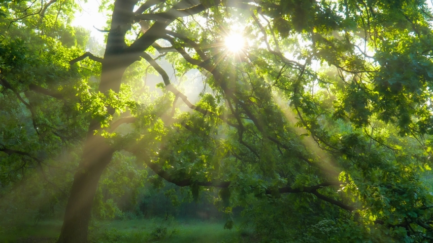 Sun rays emerging though the green tree branches. Magical forest with warm sunbeams illuminating green oak tree. Gimbal high quality shot