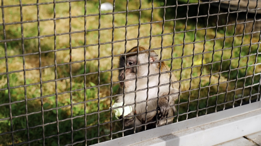 ZOO: Monkey in a zoo behind bars eats cabbage | Shutterstock HD Video #1054728296