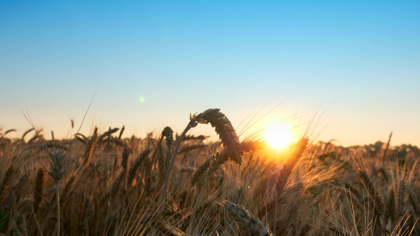 Morning Sunrise Shine Through Wheat Ears | Shutterstock HD Video #1054728341