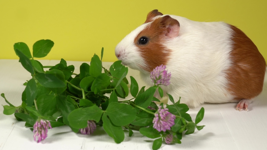 Closeup view 4k video of cute white and brown home guinea pig pet eating fresh green grass with great appetite. Domestic animal eats clover leaves and purple flowers. Studio shot. | Shutterstock HD Video #1054728605