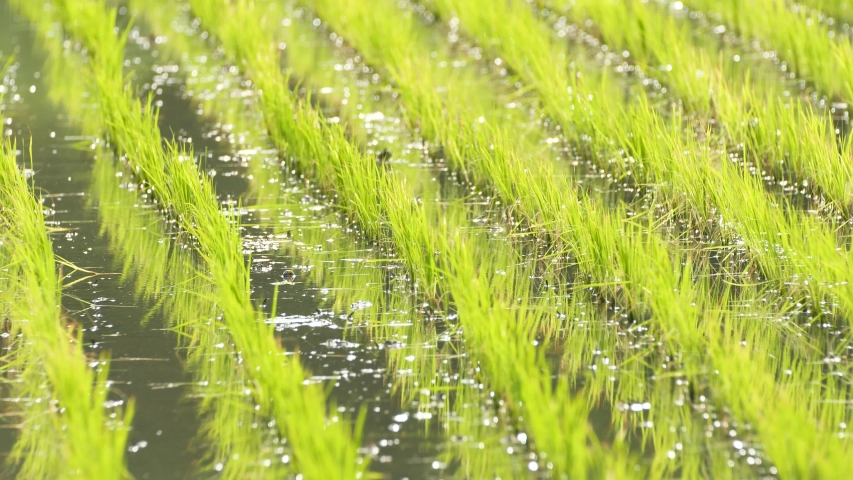 Paddy field in early summer, Nara, Japan.