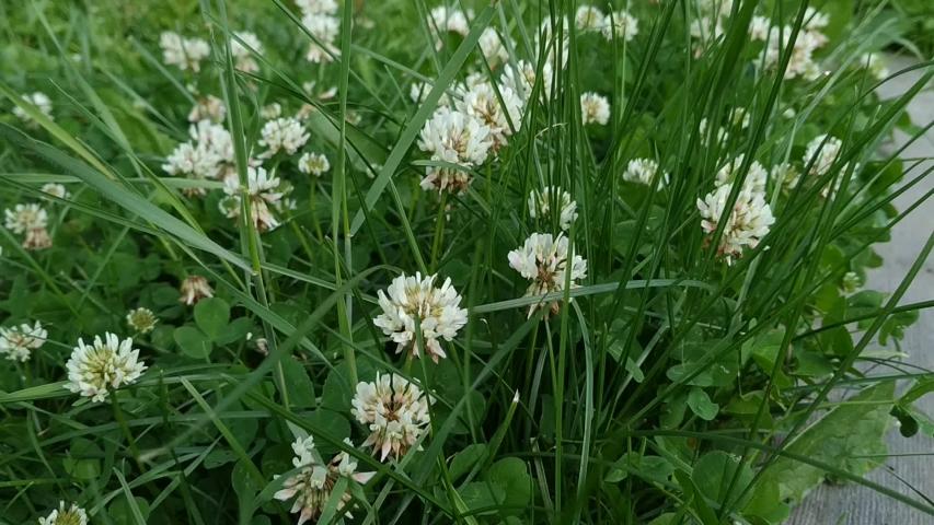 White clover beautiful flower green grass