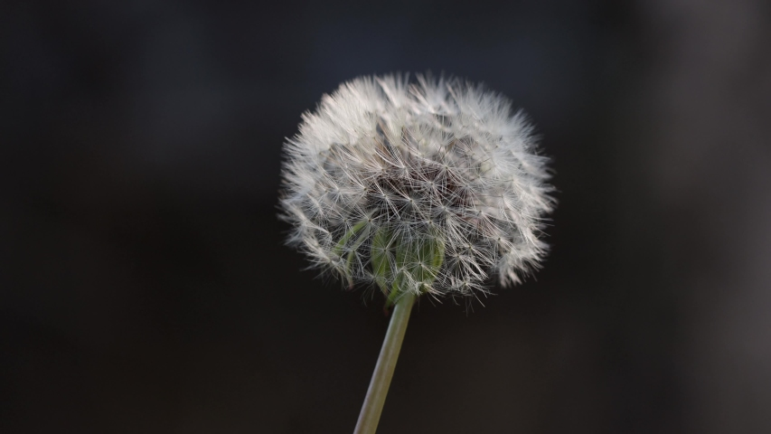 Isolated white fluffy groundsel head and seed parachutes attached to seedhead gently bouncing in wind, static close up | Shutterstock HD Video #1054729934