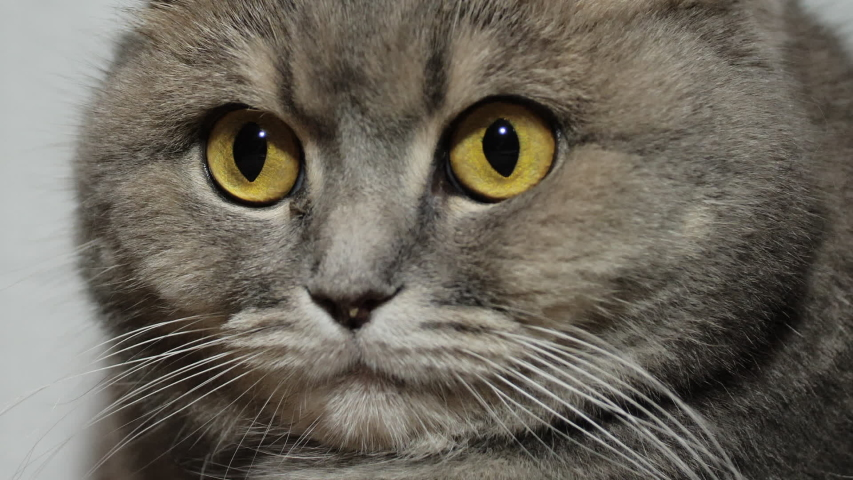 Close up portrait of a british scottish fold cat looking around. beautiful cat look | Shutterstock HD Video #1054730123