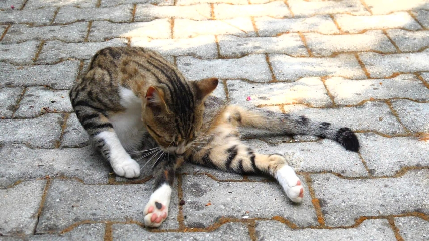 Beautiful cute cat licking his paw. Close-up of striped, spotted cat lying on ground on street, washing, licking itself, washing its face with its paw, tongue licking its stomach, back, under tail. | Shutterstock HD Video #1054730354