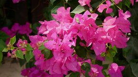 Beautiful pink purple bougainvillea creeper flowers sway in the wind. Beautiful summer floral background and screensaver. Slow motion video. The concept of wildlife, summer vacation and relaxation.