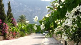 Beautiful white flowers bougainvillea creeper grow on street sway in wind. Beautiful summer floral background, screensaver. Empty summer street with flowers. Slow motion video. Vacation and summer.