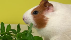 Closeup view 4k video of cute white and brown home guinea pig pet eating fresh green grass with great appetite. Domestic animal eats clover leaves and purple flowers. Studio shot.