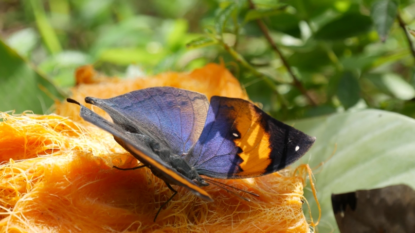 Tropical exotic butterfly in jungle rainforest sitting on green leaves, macro close up. Spring paradise, lush foliage natural background, defocused greenery in the woods. Fresh sunny romantic garden. | Shutterstock HD Video #1054731701