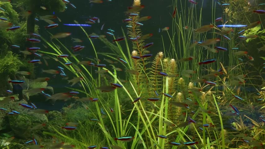 Colorful vivid fluorescent small fishes glow in river fresh water aquarium between green algae and aquatic plants. Luminous shiny ecosystem, vibrant decorative tank with bioluminescent tiny fish | Shutterstock HD Video #1054731713