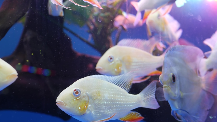Diversity of tropical fishes in exotic decorative aquarium. Assortment in chatuchak fish market pet shops. Close up of colorful pets displayed on stall. Variety for sale on counter, trading on bazaar | Shutterstock HD Video #1054731869