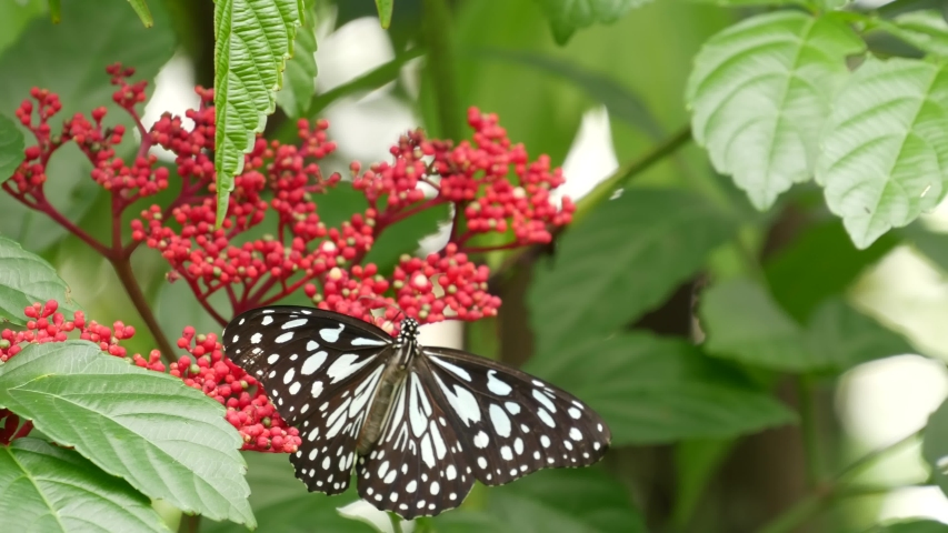 Tropical exotic butterfly in jungle rainforest sitting on green leaves, macro close up. Spring paradise, lush foliage natural background, defocused greenery in the woods. Fresh sunny romantic garden. | Shutterstock HD Video #1054731899